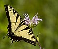 Eastern Tiger Swallowtail (9597202555).jpg
