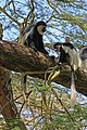 Eastern black-and-white colobus (Colobus guereza matschiei).jpg