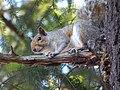 Eastern gray squirrel Sciurus carolinensis.jpg