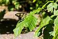 Eastern tiger swallowtail (43557487601).jpg