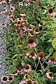 Echinacea purpurea Magnus 11zz.jpg