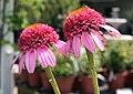 Echinacea purpurea Razzmatazz 3zz.jpg