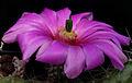 Echinocereus berlandieri blüte.jpg