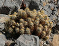 Echinocereus engelmannii 14.jpg