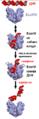 EcoRV cleaving DNA.sr.png