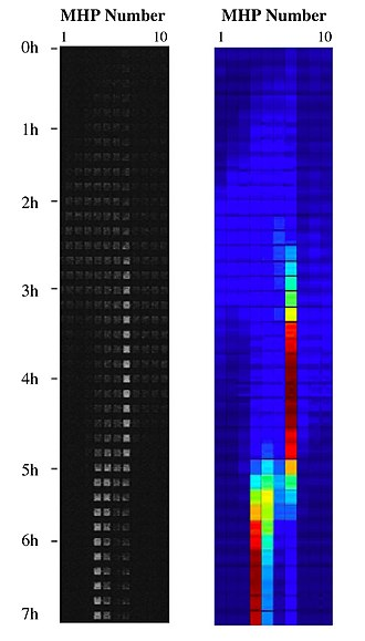 Metapopulation - E. coli metapopulation on-chip.