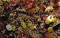 Ecteinascidia herdmani (Lahille, 1887), Clathrina coriacea (Montagu, 1818), Trinchesia caerulea (Montagu, 1804), Polysyncraton bilobatum Lafargue, 1968 - Banyuls-sur-Mer - 07-89 .jpg