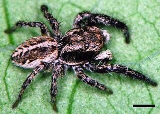 <i>Pellenes</i> genus of arachnids