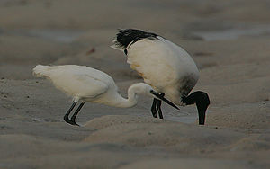 Egret and ibis -Mida Creek mud flats, Kenya-8 (1).jpg