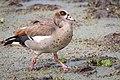 Egyptian Goose, Lake Manyara NP, Tanzania (28106791371).jpg