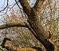 Eik (Quercus) in verval. Locatie, Natuurterrein De Famberhorst 03.jpg