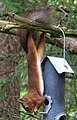 Ekorre Red squirrel (19672365114).jpg