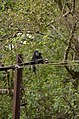 Electrocuted lion-tailed macaque infant in Valparai DSC 2614.jpg