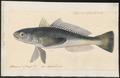 Eleginus maclovinus - 1700-1880 - Print - Iconographia Zoologica - Special Collections University of Amsterdam - UBA01 IZ13200069.tif