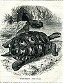 Elephant Tortoise (8274053657).jpg