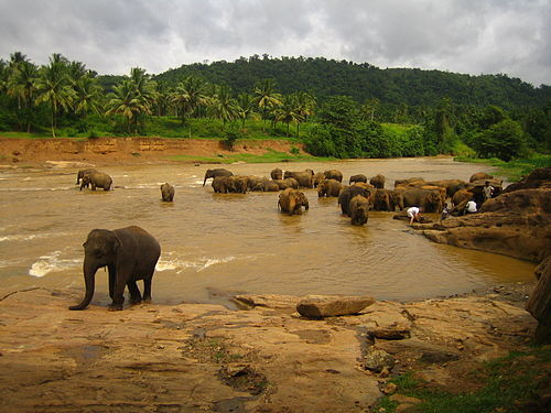 Elephants at the river, Sri Lanka