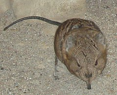 Elephantshrew.jpg