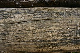 Elm bark beetle galleries 01