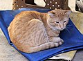 Em - Felis silvestris catus - 11.jpg