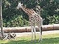 Em - Giraffa camelopardalis rothschildi - 6.jpg