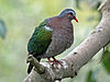 Emerald Dove SMTC3.jpg
