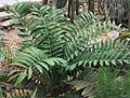 Encephalartos ferox 04.jpg