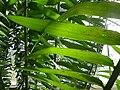Encephalartos gratus (Zamiaceae) leaves.jpg