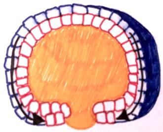 Epiboly - Epibolic movement of cells during gastrulation