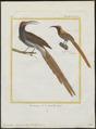 Epimachus maximus - 1700-1880 - Print - Iconographia Zoologica - Special Collections University of Amsterdam - UBA01 IZ16100071.tif