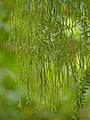 Epiphytic Club Moss (Huperzia salvinioides) (15435815270).jpg