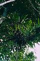 Epiphytic Ferns (14245113135).jpg