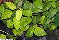 Epipremnum aureum Neon 1zz.jpg