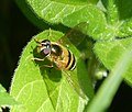 Epistrophe grossulariae female (32209051845).jpg