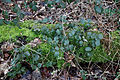 Epping Forest High Beach Essex England - Bramble and moss.jpg