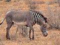 Equus grevyi mare Kenya.jpg