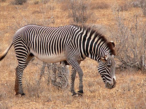 Equus grevyi mare Kenya