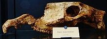 A fossil skull of Equus mauritanicu