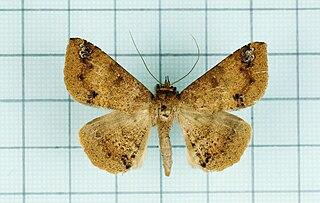 <i>Ericeia inangulata</i> species of insect