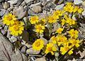 Eriophyllum wallacei 6.jpg