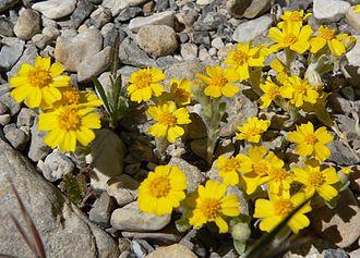 Eriophyllum wallacei - Image: Eriophyllum wallacei 6