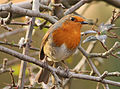 Erithacus rubecula -Leicestershire, England-8.jpg