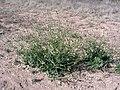 Eruca vesicaria. Big Bend National Park, Hwy 1776. March 2004 (7B3BEFEBE4DE432AABD48CF43ABD5E8D).JPG
