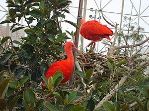 Español:Ibis escarlata en el Oceanográfico