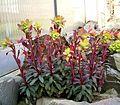 Euphorbia amygdaloides cv Purpurea2 ies.jpg