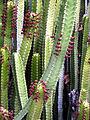 Euphorbia canariensis - Huntington.jpg