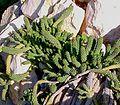 Euphorbia caput-medusae1 ies.jpg