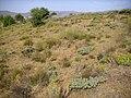 Euphorbia nicaeensis Habitat 2009July25 SierraNevada.jpg