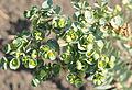 Euphorbia paralias - Sea Spurge.JPG