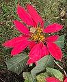 Euphorbia pulcherrima 07.JPG
