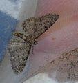 Eupithecia lariciata01.jpg